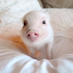 Piggy Spears Is The Sassiest Micro Piglet We've Ever Seen | Pretty 52