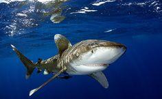 Mergulho com tubarões galha-branca oceânica, nas Bahamas.