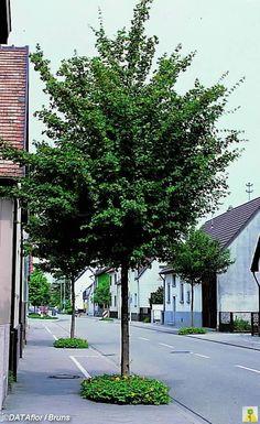 13 Best Acer Campestre Images In 2014 Acer Plants Trees Shrubs