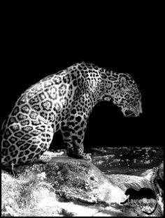 The Near Threatened Jaguar (Panthera onca) is found from northern Argentina to parts of Mexico.  Photo: Lawrie Brailey.