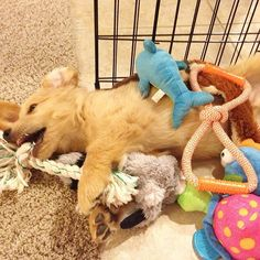 Instagram: golden_stark ~  9,524 followers ~ 989 following | Stark ❤️  - Golden Retriever AKC golden retriever. Famous for my crimped ears, crooked teef & plopping. Born 4.14.13. Lives in Northern CA.  GoldenStarkIG@gmail.com   | Photo: Attack of the toys!!
