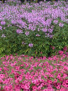 Senorita Rosalita Cleome - good companion plant for roses