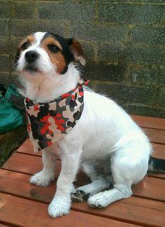 Bob wearing his 'Action Dude' dog bandana by Dudiedog Bandanas
