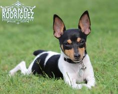 Our sweet Ruger!! Best Toy Fox Terrier!! www.facebook.com/brandyrodriguezphotography #brandyrodriguezphotography Jack Terrier, Toy Fox Terriers, Boston Terrier, Animals And Pets, Baby Animals, Cute Animals, Small Dog Breeds, Small Breed, Dog Pictures