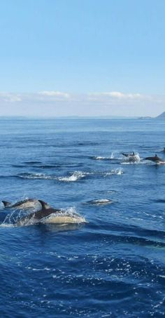 Dolphins - between White Island and Whakatane, Eastern Bay of Plenty, NZ