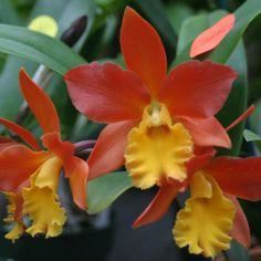 Blc. Lily Marie Almas `MGR' (Orange Nuggett x Lc. Jalapa) Bright oranges flowers…