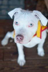 Alec is an adoptable American Bulldog Dog in Reisterstown, MD. Alec is an approx. 8 month old puppy. As you can see, he is so very handsome! We're not sure what he's mixed with, but he seems to be som...