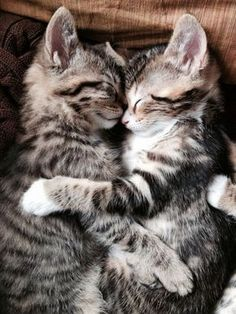 Everyone loves animals and pets, and cats are the funniest animals! They make us laugh and happy! Just look how all these cats & kittens play, fail, get Cute Baby Animals, Animals And Pets, Funny Animals, Animals Kissing, Funniest Animals, Animals Images, Cute Cats And Kittens, Kittens Cutest, Kitty Cats