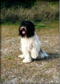 schapendoes dog photo | Schapendoes - Present your dog in our photo album ...