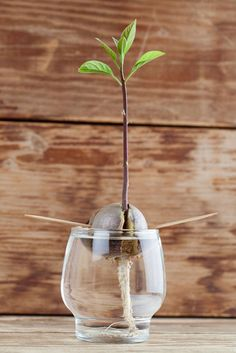 The Avocado Experiment for Kids purpose To attemptto sprout an avocado seed and maybe grow a tree! experiment duration This experiment maytake up to a couple months for the seed to sprout. Patience is key here, lol! tools avocados: if you have more than one your chances are better for success see-throughcup: 1 per avocado seed knife wooden toothpicks: 4 for each avocado seed instructions Cut the avocado in half. Do not nick, scrape or cut into the seed. Wash the avocado seed. If you…