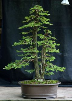 A stunning gallery of beautiful Bonsai versions of the tallest tree species in the world, the Coast Redwood (Sequoia sempervirens). Mini Bonsai, Indoor Bonsai, Bonsai Plants, Bonsai Garden, Indoor Plants, Redwood Bonsai, Sequoia Sempervirens, Tree Interior, Bonsai Tree Types