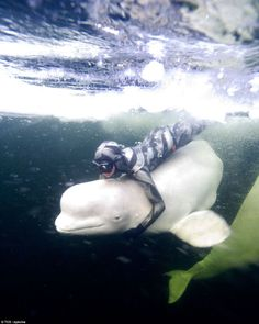 ice diving with beluga whales!