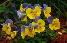 Tiny, Cheerful Violas by Georgia Mizuleva, via 500px
