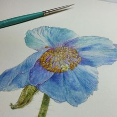 shadowscapes-stephlaw:Blue poppy