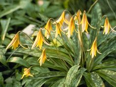 Erythronium americanum (American trout lily) is a colorful spring ephemeral.