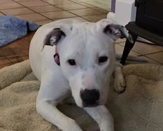 Deaf Pit Bull's Nose Saves Foster Family From Carbon Monoxide Poisoning