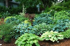 Sebright Gardens - Premier Selection of Hostas located off I-5 in Brooks, OR  Also grow hardy ferns & epimediums