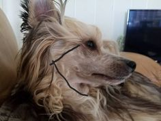 Appropriate Lines for Grooming your Crested - Chinese Crested Skin Care & Grooming - Chinese Crested Crush