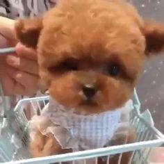 Teacup Yorkie, Yorkie Puppy, Dachshund Puppies, Baby Puppies, Baby Dogs, Pet Dogs, Dachshund Facts, Cute Little Puppies, Cute Little Animals
