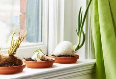 Regrow Food From Scraps-Home Made Simple Container Gardening, Gardening Tips, Indoor Gardening, Home Made Simple, Deco Floral, Indoor Plants, Jar Plants, Potted Plants, Garden Projects