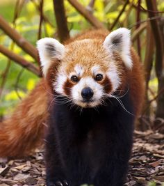Red panda. Would love a red panda stuffed you for Mother's Day or My Birthday :) xx