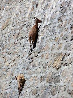 Cabras de montaña sobre la represa | LaReserva