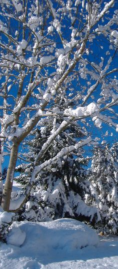 Snowy Trees by Red
