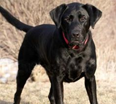 This black lab looks like my first dog I had when I lived on my own.  I had him for 12 years.  He was my boy and was a great babysitter for my little ones.  He was very patient with them.  Miss you Tyronne!!