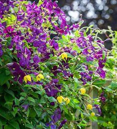 Buy Clematis Viticella 'Etoile Violette' Plants | Sarah Raven