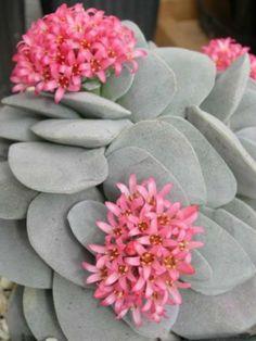 Crassula 'Morgan's Beauty' → Plant characteristics and more photos at: http://www.worldofsucculents.com/?p=7130 More cacti: → http://www.worldofsucculents.com/cacti-genera-a-z/ and other succulents: → http://www.worldofsucculents.com/other-succulents-genera-a-z/