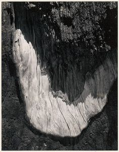 Detail, Sequoia Bark, Yosemite National Park, California (1962)