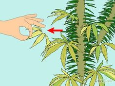 Trim Marijuana Step 1.jpg