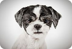Luke by Richard Phibbs.  He is a Shih Tzu available for adoption at the Humane Society of New York.