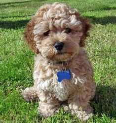 I have a girl cockapoo who looks just     like this one. They are great! No shedding, the perfect size (mine is 13 lbs),     very smart, and adorable! They are very good lap dogs also