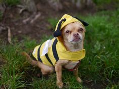 The Bee Costume for Dogs!