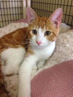 BRUCE is an adoptable Domestic Short Hair searching for a forever family near…