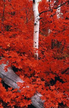 An Autumn Time Rocky Mountain Maple-Gorgeous Foliage Beautiful World, Beautiful Places, Beautiful Pictures, Nature Landscape, Landscape Photos, Seasons Of The Year, Fall Pictures, Funny Pictures, All Nature