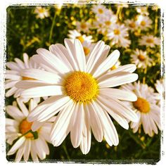 daisies  by williebaronet, via Flickr