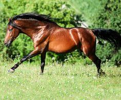 Pura Raza Española stallion, Hondon. photo: Bettina Niedemeyer.