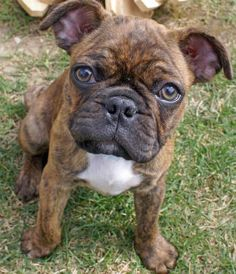 OMG.... Boxer/Pug Mix .... I never would have though to mix these two... flipping cute!