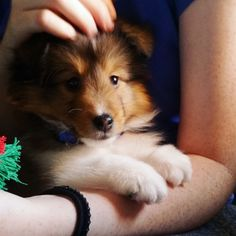 Related image Kittens And Puppies, Cute Puppies, Cute Dogs, Dog Photos, Dog Pictures, Cute Pictures, Rough Collie, Collie Dog, Beautiful Dogs