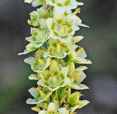 Fascinating Flowers: 10 Beautiful But Rare Three-petal Flowers -- Elegant Camas