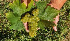 Traditional Grapes - Premium Wines of Romania Light Peach, Wine Tasting, Grape Vines, Wines, Berries, Traditional, Fruit, Berry Fruits, Vineyard Vines