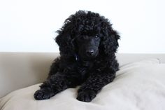 If I got another poodle, it would be black.  Or red.  Or maybe silver.