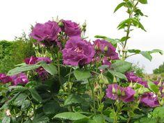Rózsa ültetése, gondozása Plants, Plant, Planets
