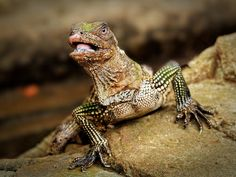 soa soa (ambonese sailfin lizard) | Flickr - Photo Sharing!