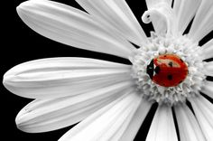 The lady bug is the focal point of this picture. The lady bug is colored against a white flower with a black background. It is also sitting in the middle of the flower that surrounds it and creates a frame around it almost Logo Nature, Foto Fantasy, Es Der Clown, Fotografia Macro, A Bug's Life, Real Life, Tier Fotos, Black White Red, Insects
