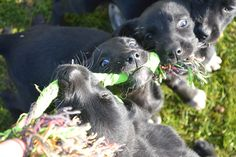 These bunch of 9 lab collie pups love playing tug Collie, Rescue Dogs, Labrador Retriever, Puppies, Photos, Animals, Labrador Retrievers, Cubs, Pictures