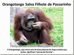 Mural Animal: Orangotango Salva Filhote de Passarinho