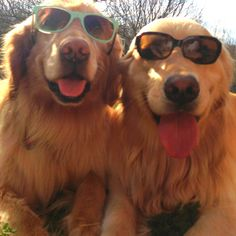 Those are some cool Goldens